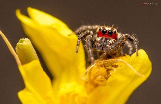 Jumping spider on a flower. Photo: Rudolf Steenkamp